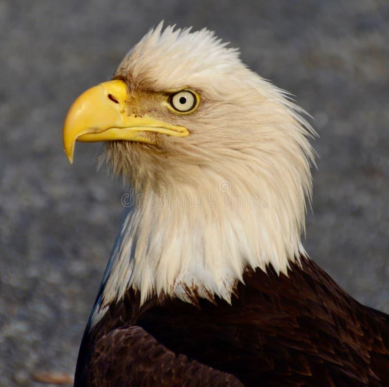 Eagle calvo con el viento imágenes de archivo libres de regalías