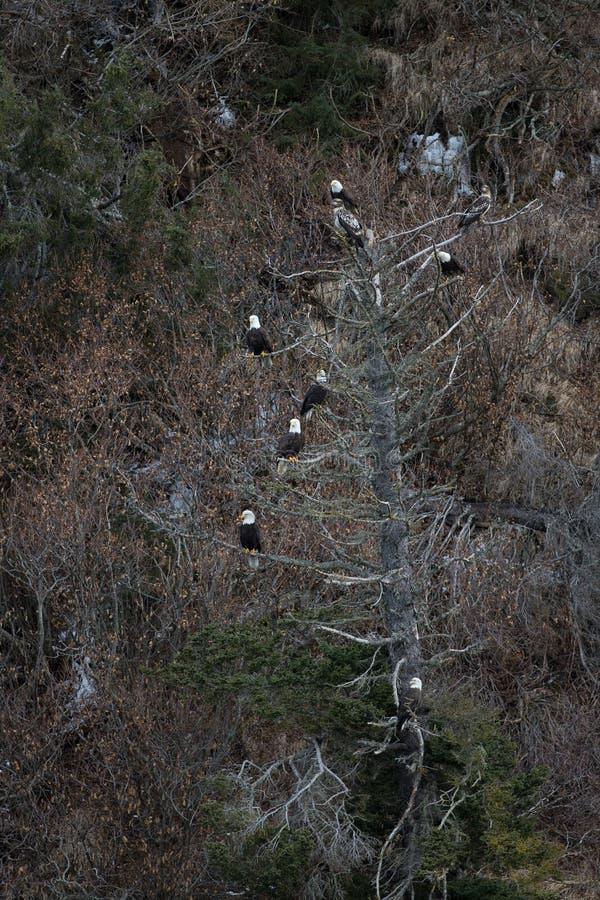 Download Eagle Calvo En árbol Cerca De Homer Alaska Foto de archivo - Imagen de azul, américa: 42442772