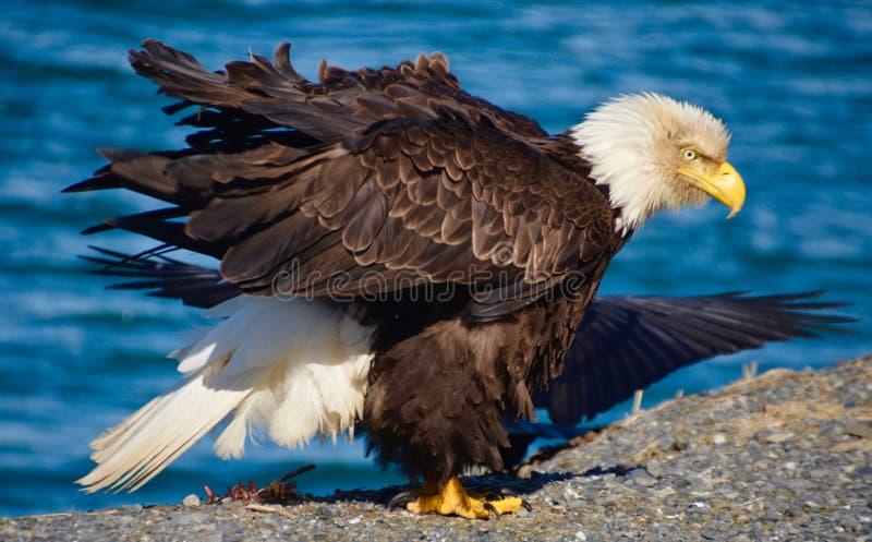 Eagle calvo en el viento fotografía de archivo