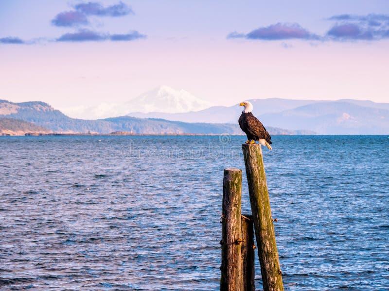 Eagle calvo en pilas en la orilla Sidney, A.C., isla de Vancouver, imagenes de archivo