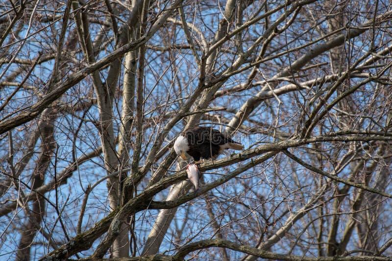 Eagle calvo encaramado en una rama que come un pescado imagenes de archivo