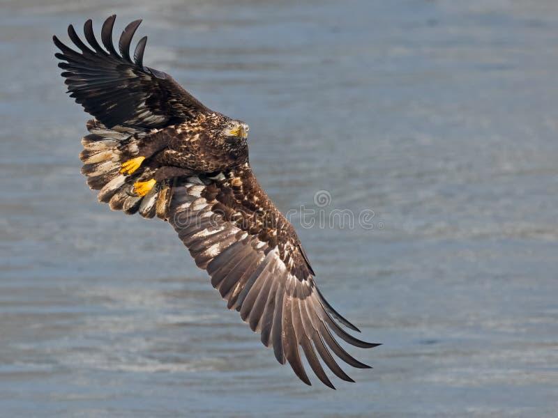 Eagle calvo juvenil en Flght fotografía de archivo