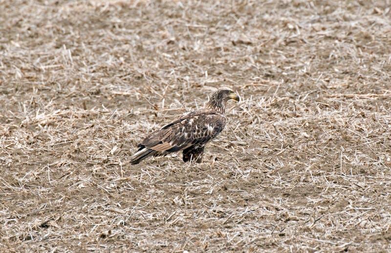 Eagle calvo juvenil en la soja Bean Stubble fotografía de archivo