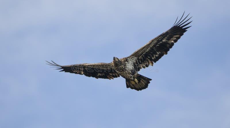 Eagle calvo juvenil en vuelo, presa de Conowingo, Maryland, los E.E.U.U. imagen de archivo libre de regalías