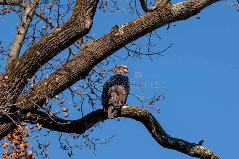 Eagle calvo juvenil se encaramó en una rama imagenes de archivo