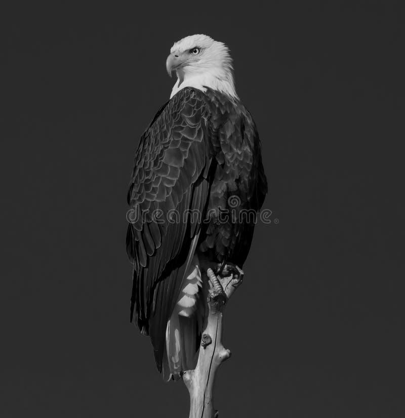 Eagle calvo mai vigilante fotografia stock libera da diritti