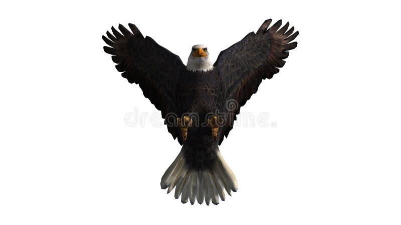 Eagle calvo in mosca - fondo bianco immagine stock libera da diritti