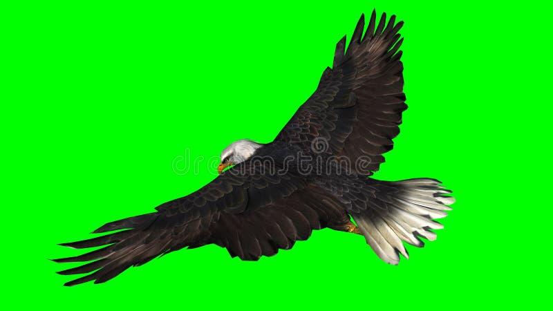 Eagle calvo in mosca - schermo verde fotografia stock libera da diritti