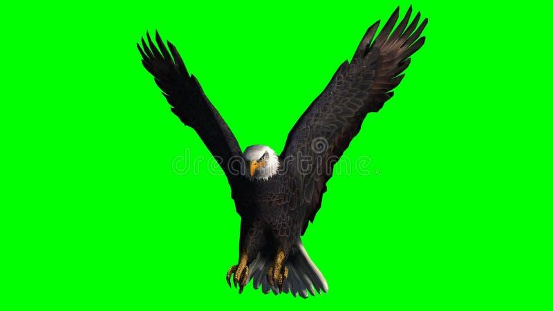 Eagle calvo in mosca - schermo verde fotografie stock
