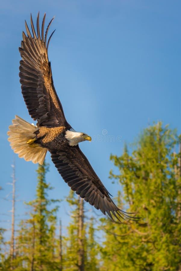 Eagle calvo nel metà di volo fotografie stock