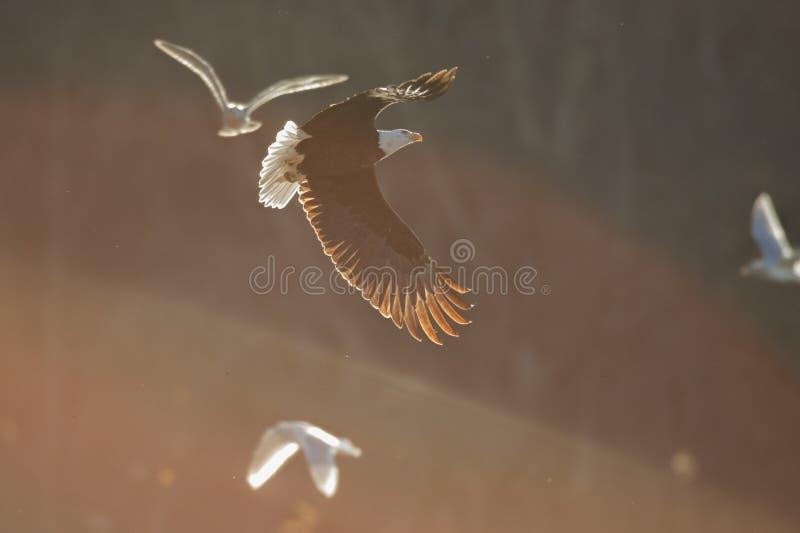 Eagle calvo nella luce morbida