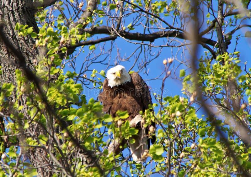 Eagle calvo que da la mirada fija abajo imagenes de archivo