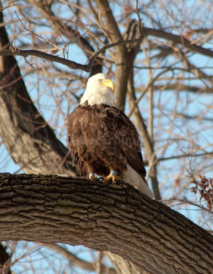 Eagle calvo que se sienta en una rama foto de archivo libre de regalías