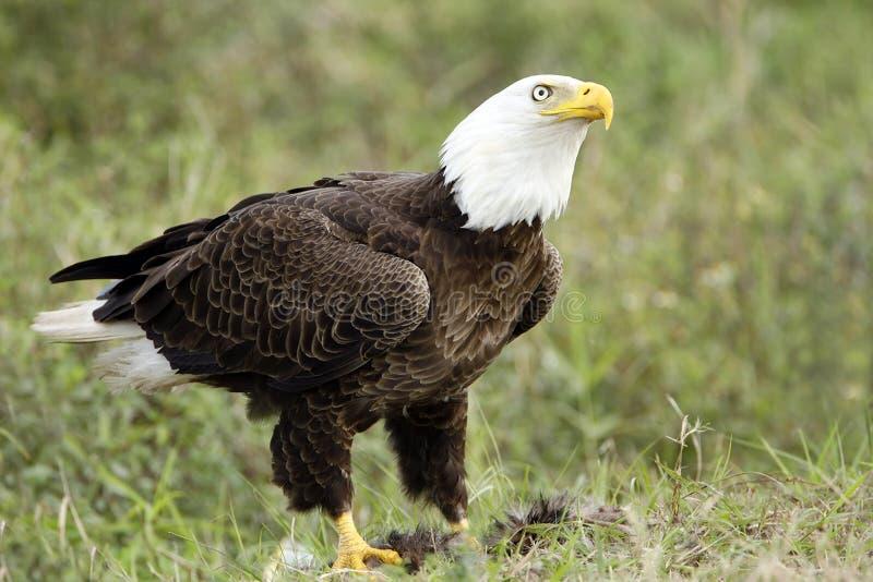 Eagle calvo que vigila su comida fotos de archivo