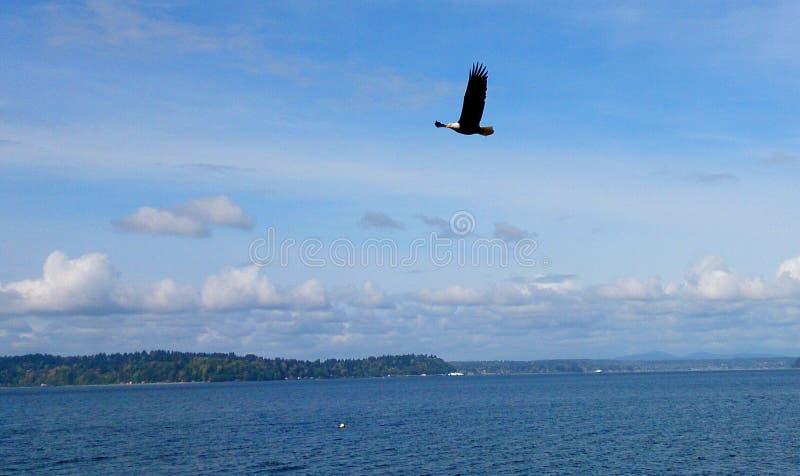 Eagle calvo sobre Puget Sound fotografía de archivo