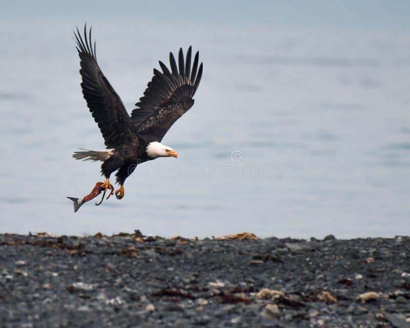 Eagle Catches calvo um peixe em Alaska central sul imagem de stock