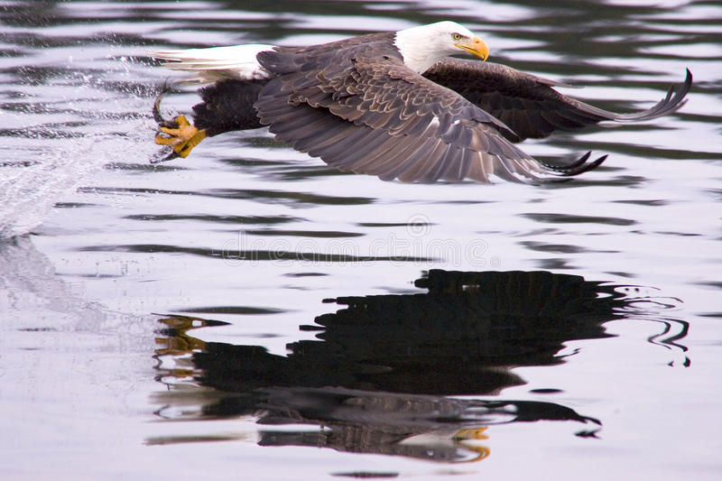 Eagle catches a fish.