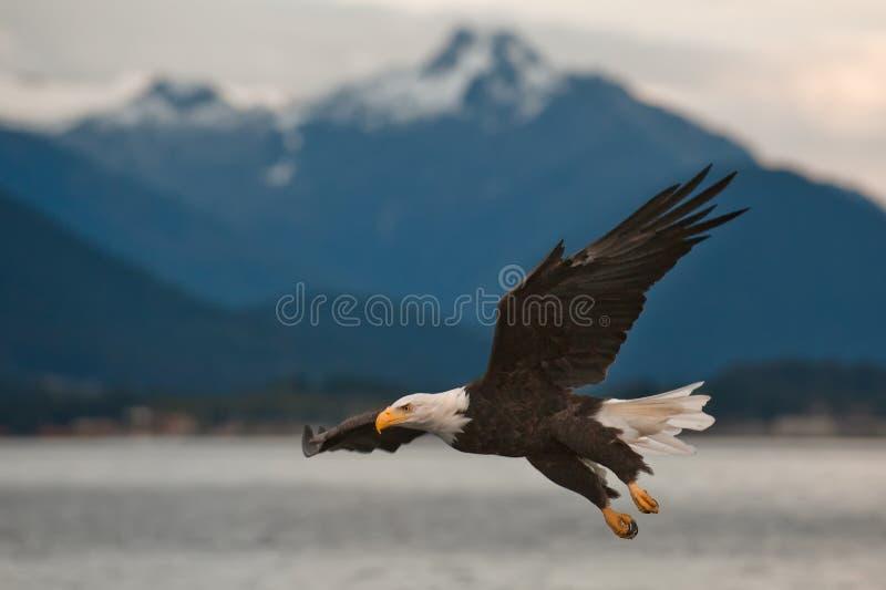 Eagle Chauve à L Approche Image stock