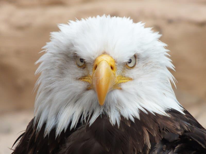 Eagle1 chauve photographie stock libre de droits