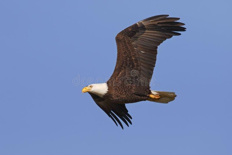 Eagle chauve adulte en vol - Gainesville, la Floride image stock