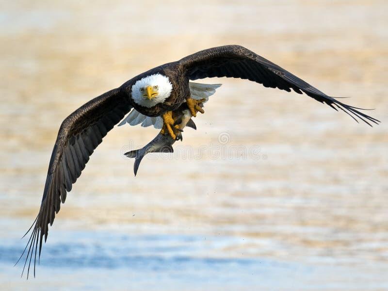 Eagle chauve américain avec des poissons images stock