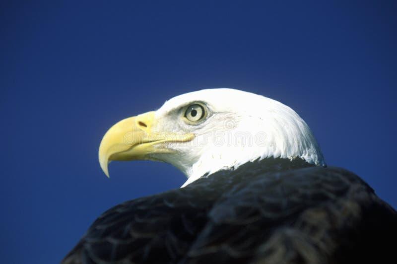 Eagle chauve américain, fourchette de pigeon, TN images stock
