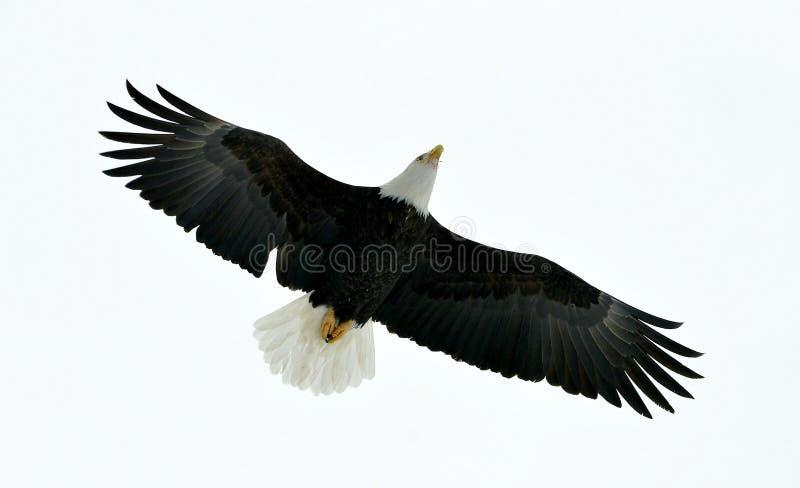 Eagle chauve américain (leucocephalus de Haliaeetus) en vol photographie stock libre de droits