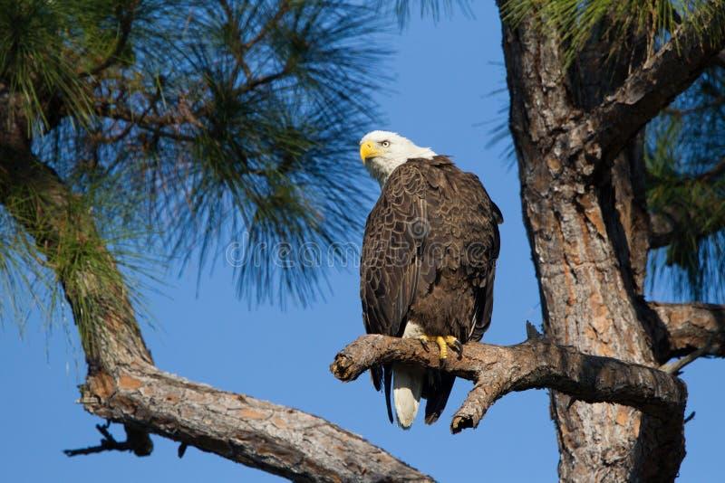 Eagle chauve américain sur le branchement photographie stock