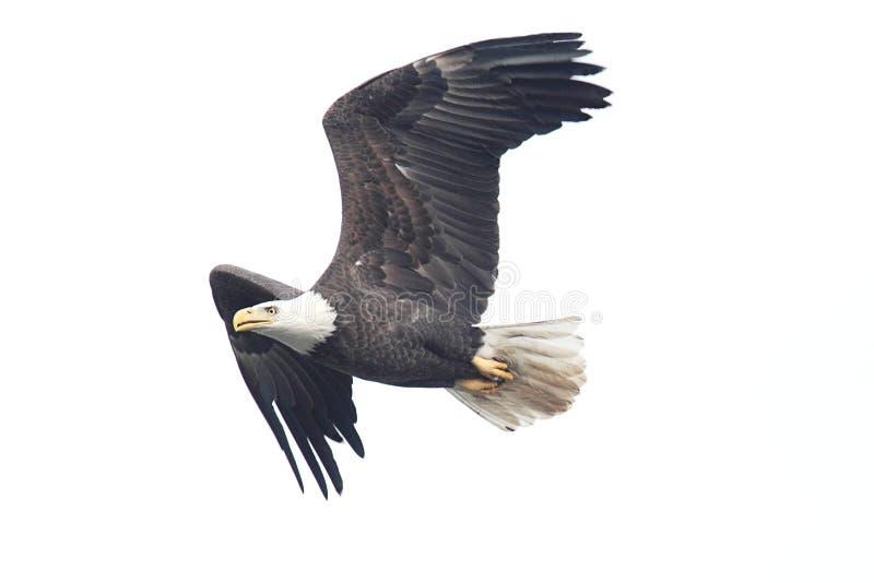 Eagle chauve d'isolement photographie stock libre de droits