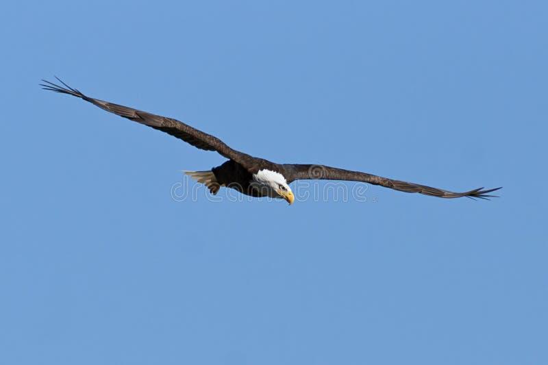 Eagle chauve en vol image stock
