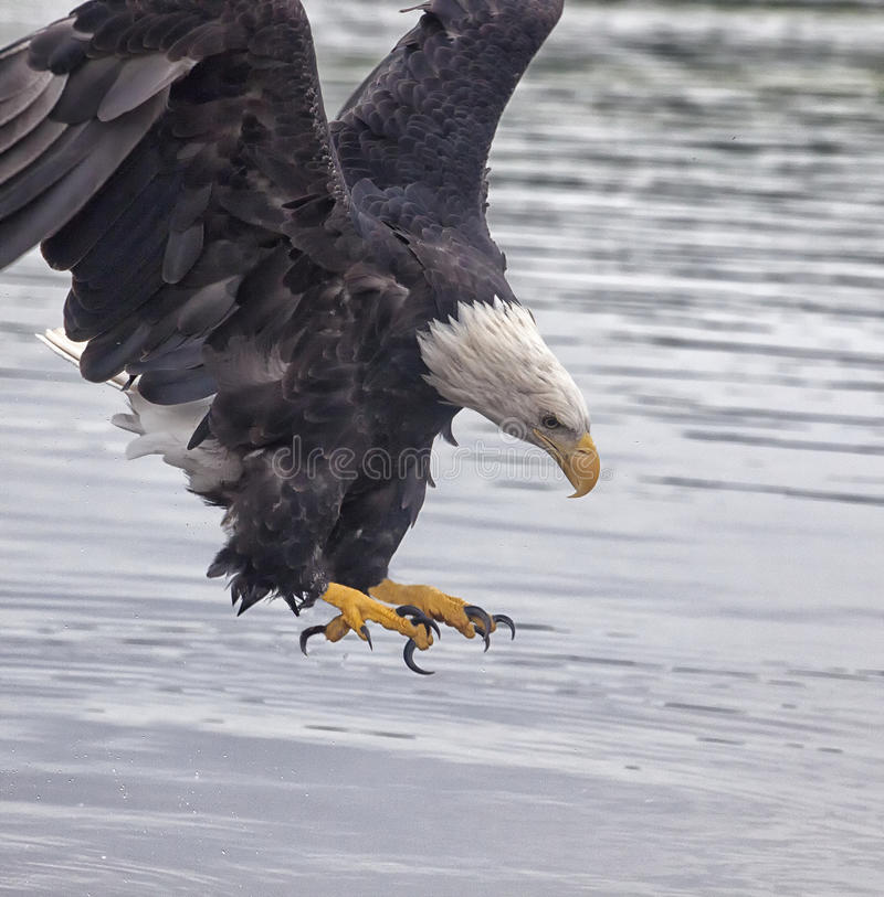 Eagle chauve en vol photo stock