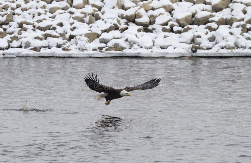 Eagle chauve faisant sensation photographie stock