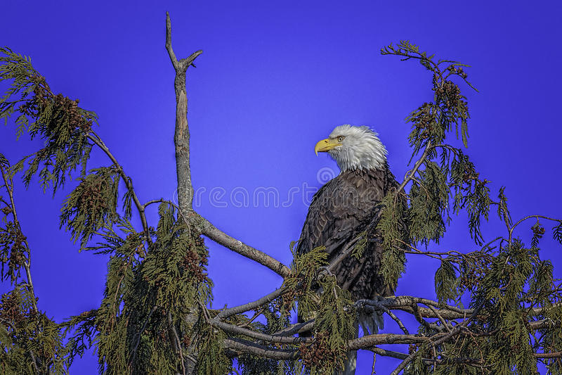 Eagle chauve, mûr image libre de droits