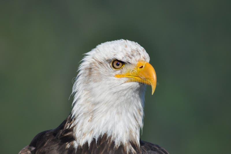 Eagle chauve - plan rapproché - tête seulement image libre de droits