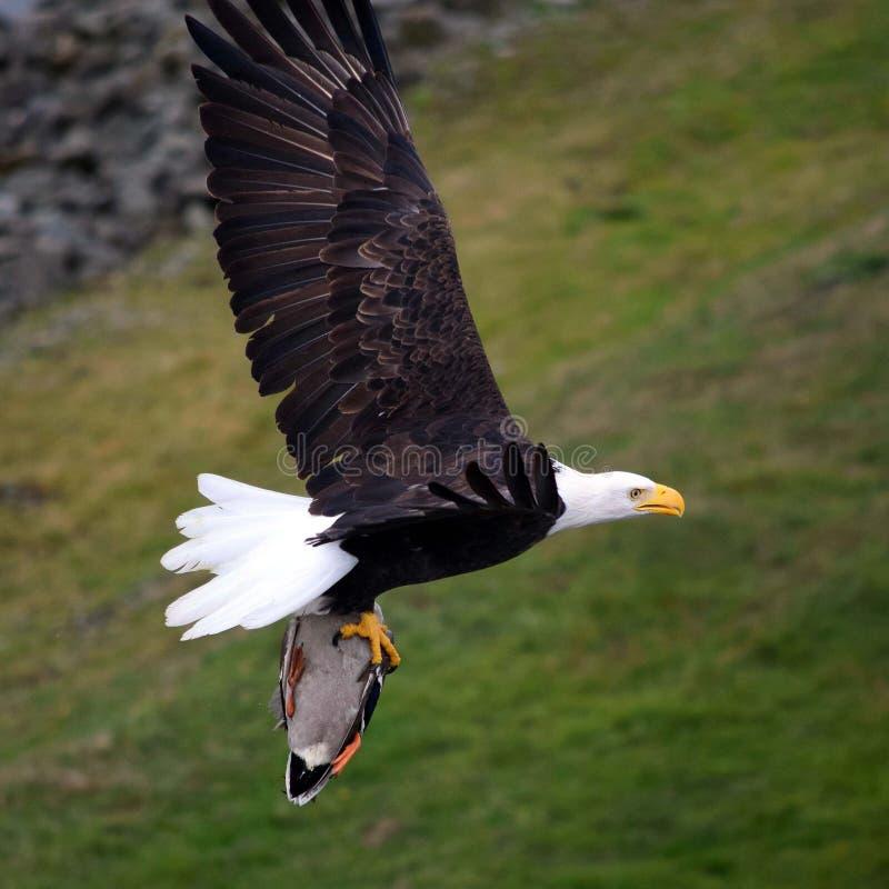 Eagle chauve portant son déjeuner photographie stock