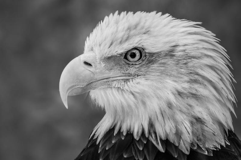 Eagle chauve XXI photos stock