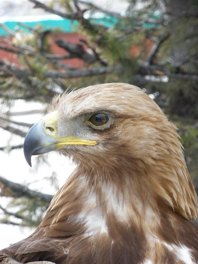 Eagle che loking alle montagne immagine stock libera da diritti