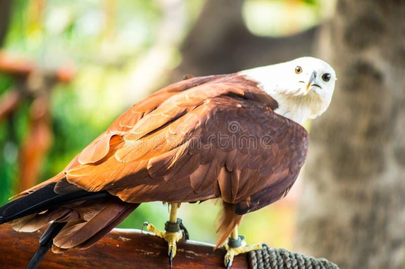 Eagle che sta sul ramo dell'albero fotografia stock