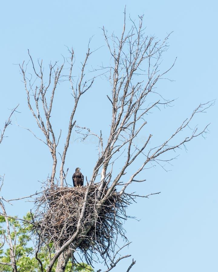 Eagle Chick calvo imagem de stock royalty free