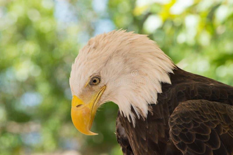 Eagle Close Profile calvo imagens de stock