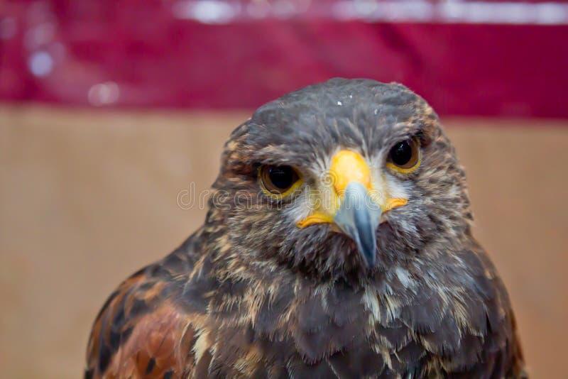 Eagle Close Up Portrait immagine stock libera da diritti