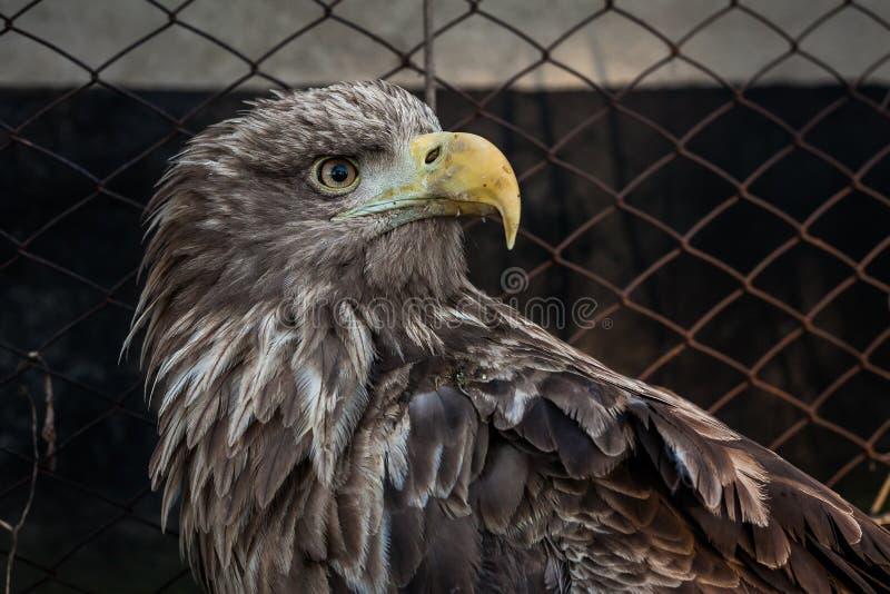 Eagle Close Up Portrait fotografia stock libera da diritti