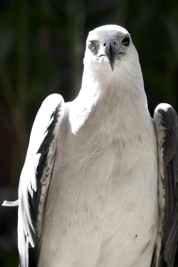 Eagle com um só olho fotos de stock