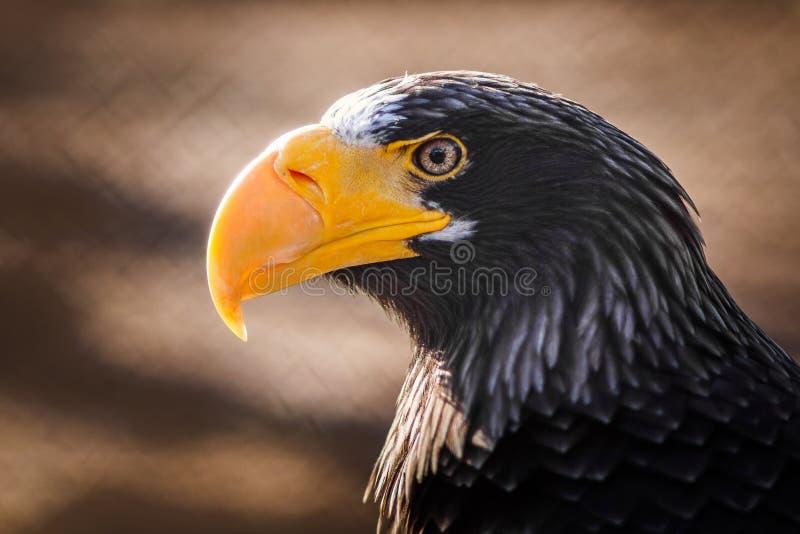 Eagle con il becco giallo fotografie stock