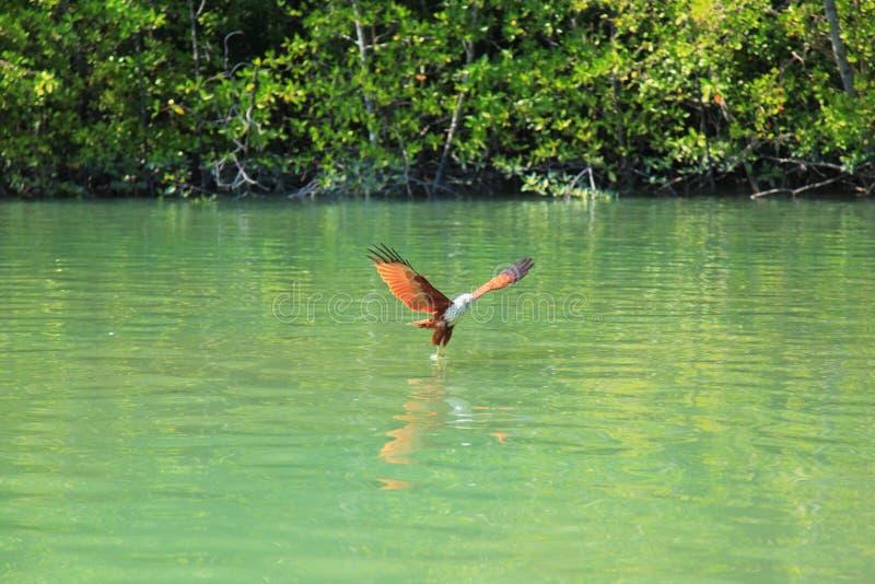 Eagle con la testa bianca sorvola un Green River contro fondo degli alberi verdi fotografia stock libera da diritti