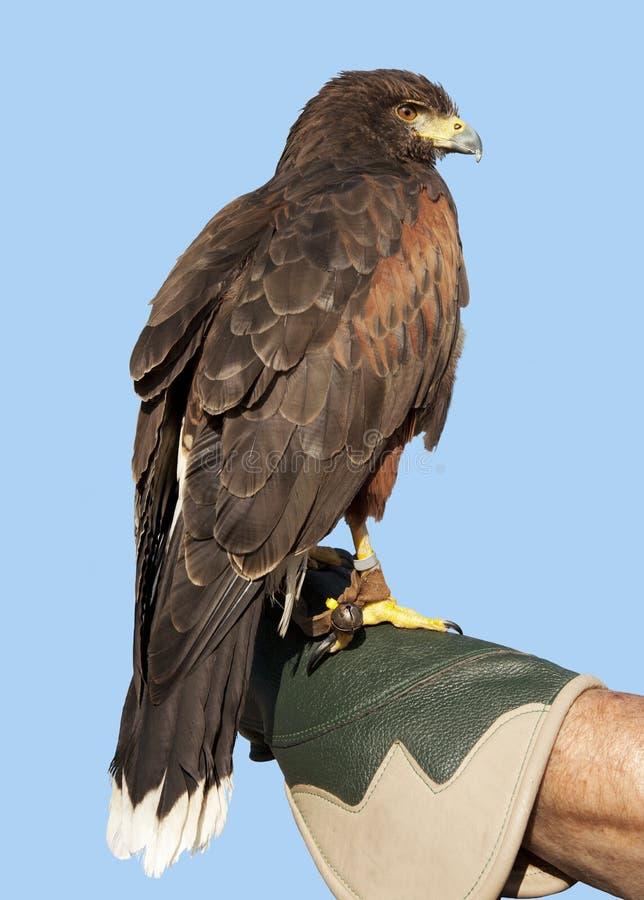 Eagle contre un ciel bleu photos libres de droits