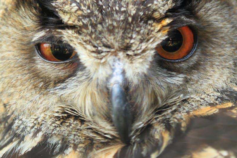 Eagle-coruja euro-asiática imagem de stock royalty free