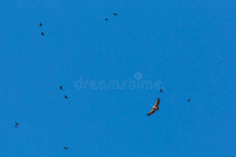 Eagle couples in the blue sky stock photos