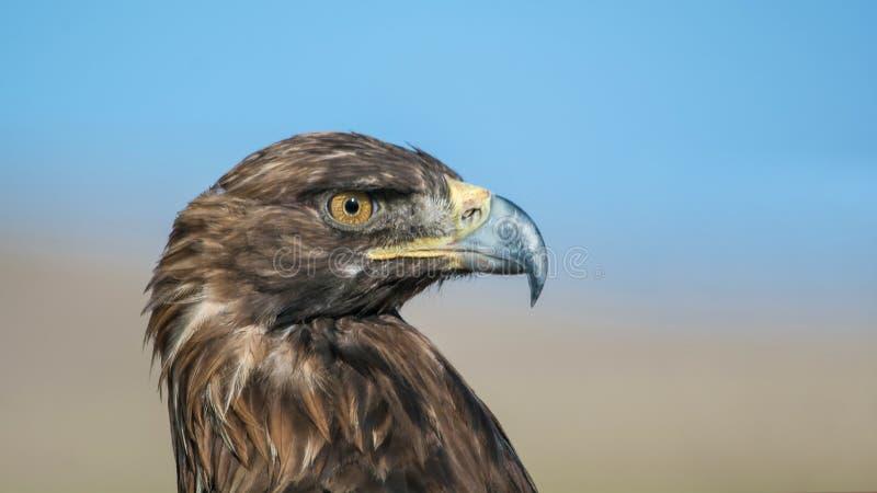Eagle d'or du Kirghizistan images libres de droits