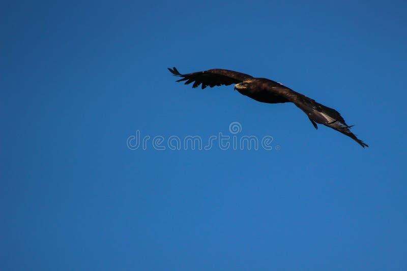 Eagle d'or - l'Illinois, fauconnerie, Vorarlberg, Autriche photos stock